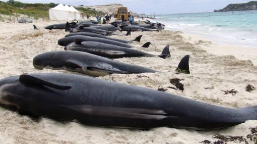 Más de 30 ballenas piloto varadas fueron sacrificadas en Nueva Zelanda 288344