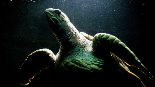 Raro virus mata tortugas 400113