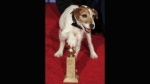 Globos de Oro, The Artist, Globos de Oro 2012, Uggie, Uggie The Dog