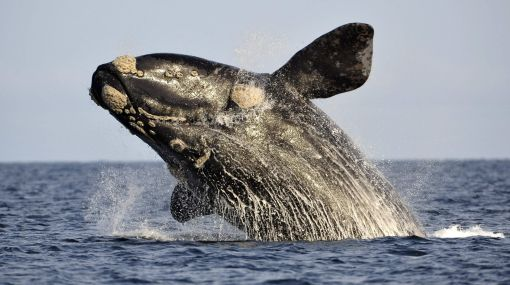 iPhone, Apple, Ballenas, iPad, Aplicaciones, App,  Ballena franca