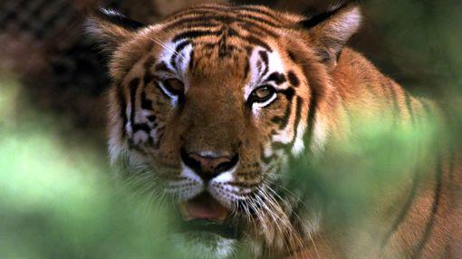 Tigres, Peligro de extinción, Animales