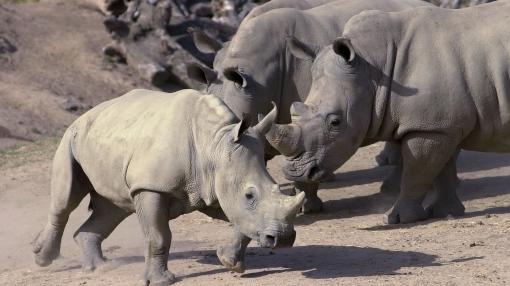 Sudáfrica, Rinocerontes,  Peligro de Extinción