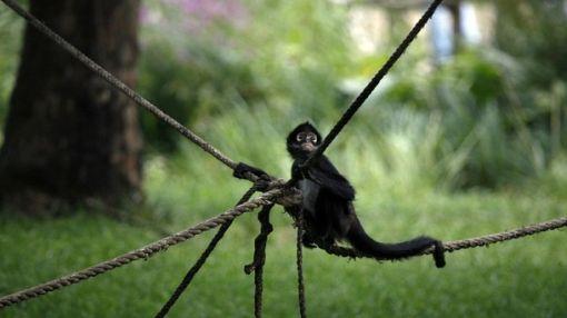café, té, Comercio internacional, ecosistemas,  animales en peligro de extinción,  mono araña