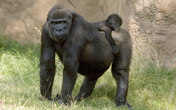 Primates, Gorilas, Alemania, Chimpancés, Hábitat