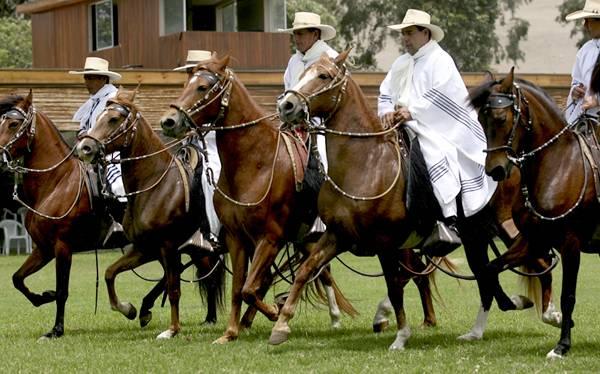 Caballos de Paso Peruano en Ecuador Caballo Peruano de Paso Fue