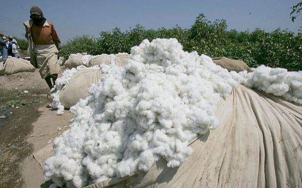 Empresarios buscan revertir con autogravamen crisis del algodón peruano