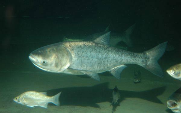 Peces de agua dulce no ingieren agua a diferencia de los peces de mar