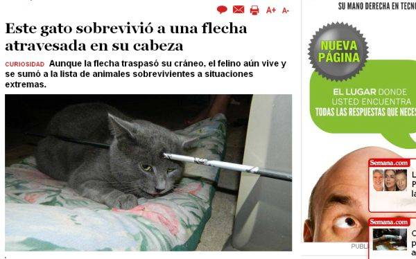 Un gato vive con una flecha atravesada en la cabeza