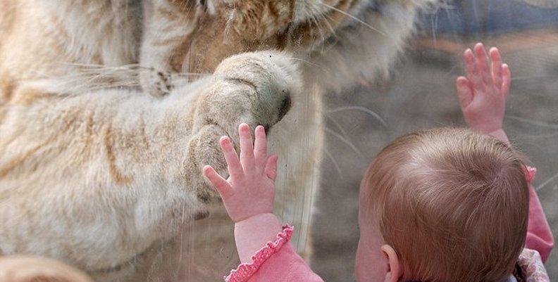Tigre de Bengala juega con beba