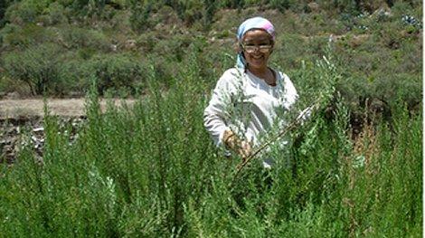 Arequipa exporta hierbas aromáticas a países europeos
